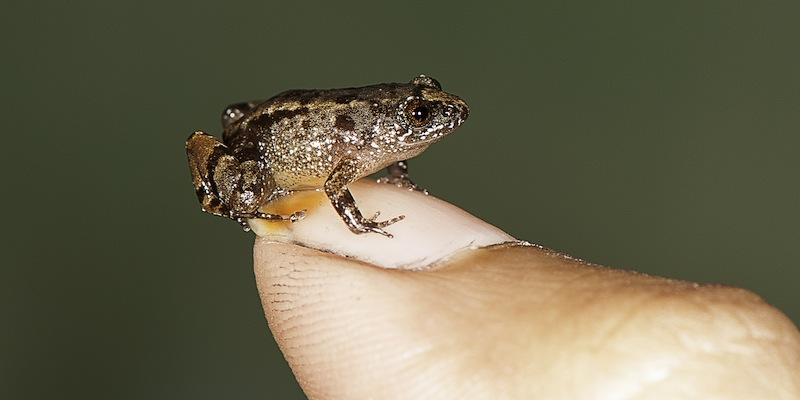 This handout photograph received from S.D.Biju on February 16, 2017, shows a 13.6mm Vijayan's Night Frog (Nyctibatrachus pulivijayani) . — AFP pic