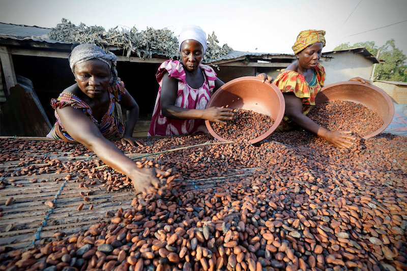 Women from a local cocoa farmers' association called BLAYEYA spread cocoa beans to dry in Djangobo, Ivory Coast, November 17, 2014. — Reuters pic