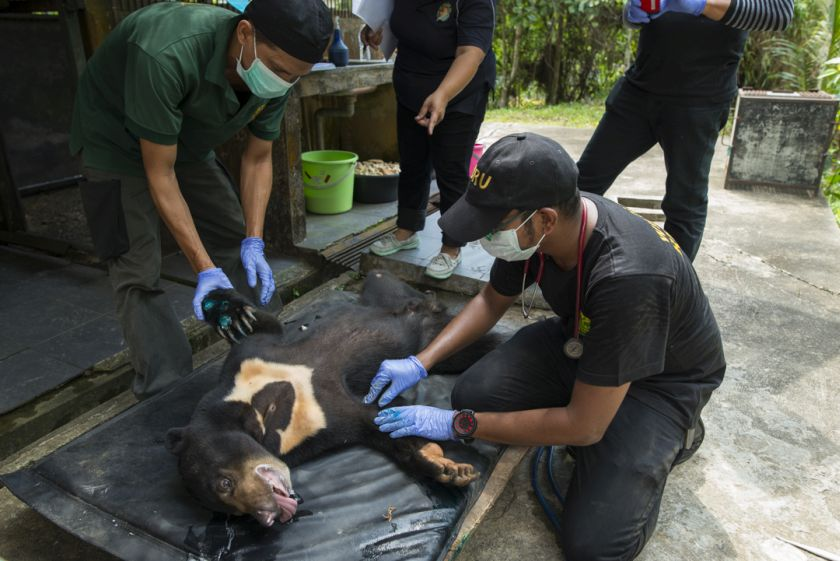 The Sabah Wildlife Rescue Unit deal with a wide range of cases that are mostly caused by human-wildlife conflict, such as getting this lost sun bear home again. — Picture courtesy of Scubazoo