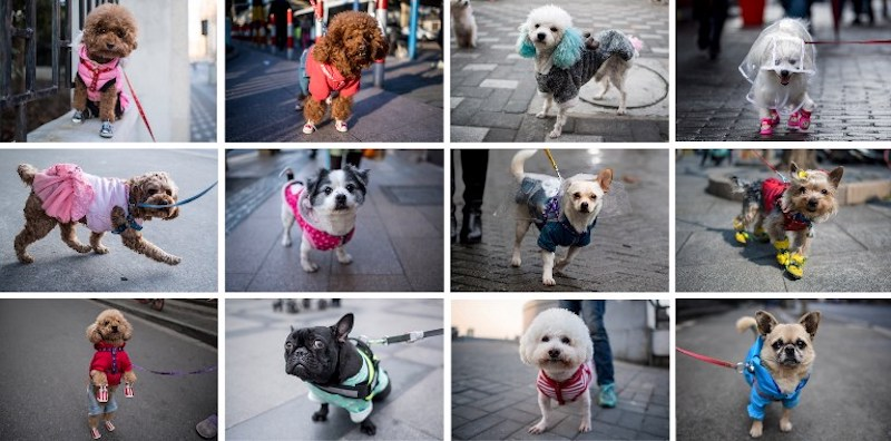 Poodles in pink dresses, Pekinese wearing shirts, a Pomeranian in sneakers and a raincoat — the sidewalks of Shanghai can sometimes seem like catwalks gone to the dogs. — AFP