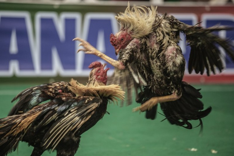 Cockfighting is a popular blood sport in the archipelago where money is bet on the outcome of a fight. — AFP pic