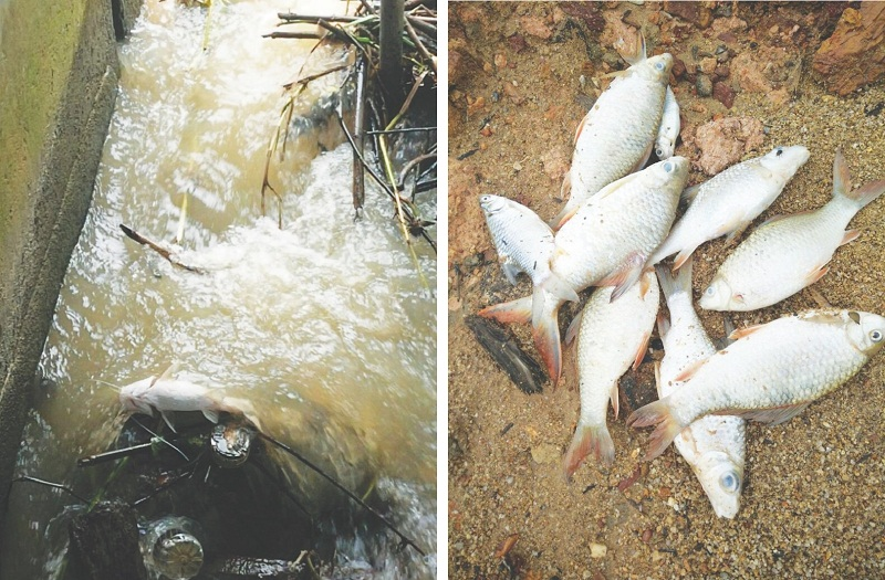 Dead fish found in the Bernam River may be the result of contamination of the water by farms, says Rusna. — Picture by Malay Mail