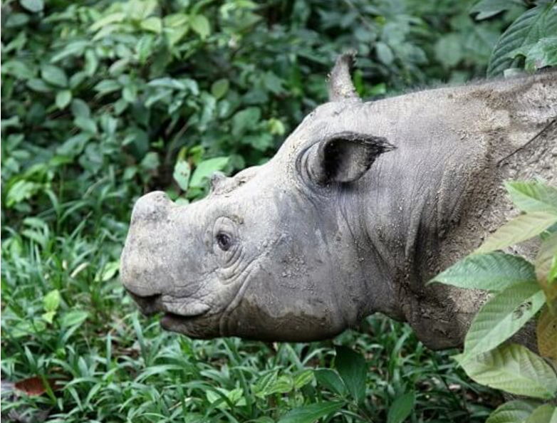 Puntung was captured in 2011 and kept at the Borneo Rhino Sanctuary in Tabin Wildlife Reserve, Lahad Datu with one other female and a male Sumatran rhino. — Picture via Borneo Rhino Sanctuary