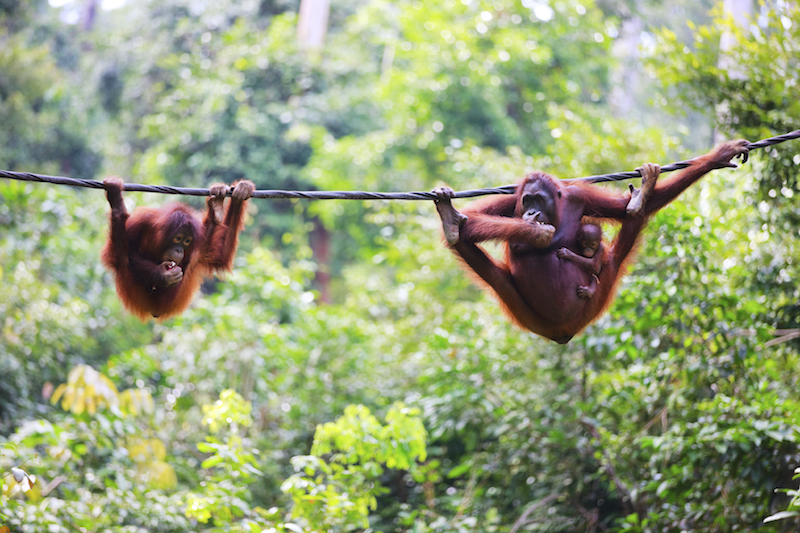 At least 650 orangutans were lost in protected areas of Sabah's eastern lowlands between 2002 and 2017, WWF said. — AFP pic