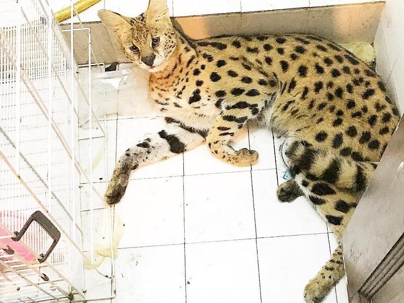 Datuk Aliff Syukri's Kamarzaman's pet Savannah cat lying in a toilet that has become its home. — Picture courtesy of Instagram/Aliff Syukri