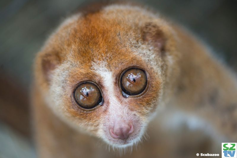 Slow lorises' adorable appearance is their biggest threat, due to the illegal pet trade. — Picture courtesy of Scubazoo
