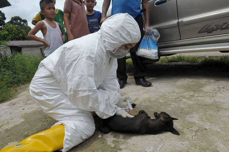 Sarawak Veterinary Services Department personnel puts down a puppy showing symptoms of being infected by rabies virus in Kampung Lebor, Gedong, Serian, July 5, 2017. — Bernama pic