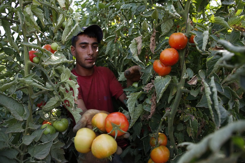 A Palestinian man from the Jaber family picks tomatoes at his family farm near the Israeli settlement of Kiryat Arbaa on the outskirts of the occupied city of Hebron in the West Bank, on August 21, 2017. — AFP Pic