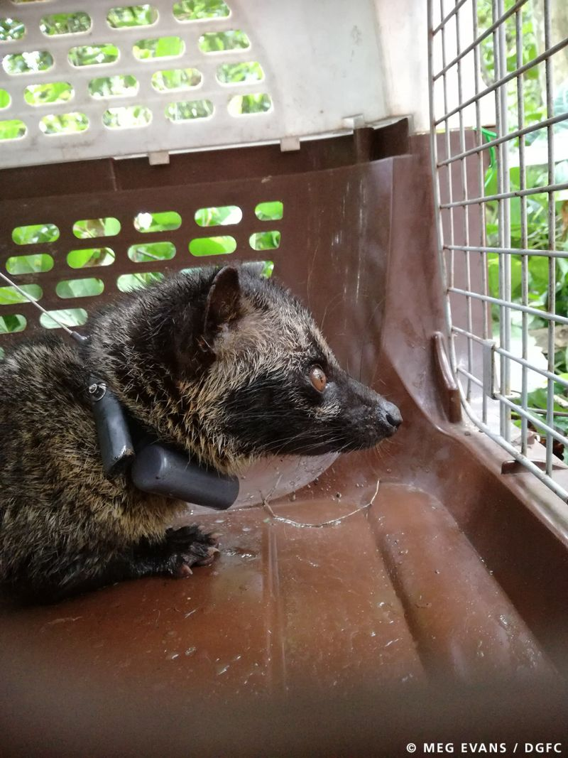 This civets new accessory, a GPS collar, will provide information to help discover how these mysterious mammals react when their homes are changed or exposed. ― Picture courtesy of DGFC