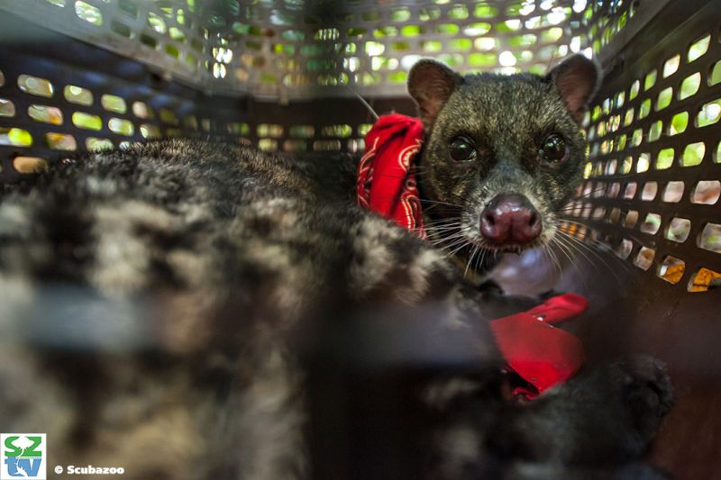 """Meg tracks and monitors the health and behaviours of civets - """"just like a medical a human would have"""" she says. ― Picture courtesy of Scubazoo"""