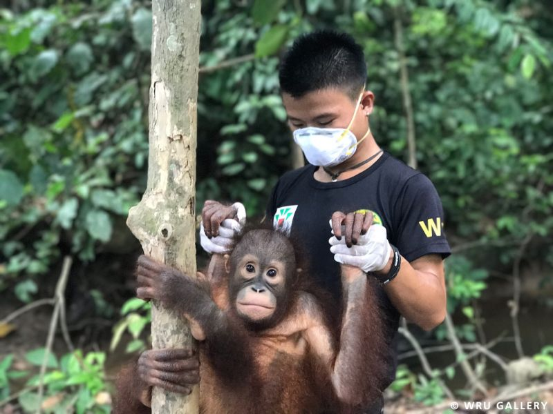Orangutans are among the forest victims needing rescue from humans who illegally keep them as pets after straying into villages or plantations. — Picture courtesy of Scubazoo
