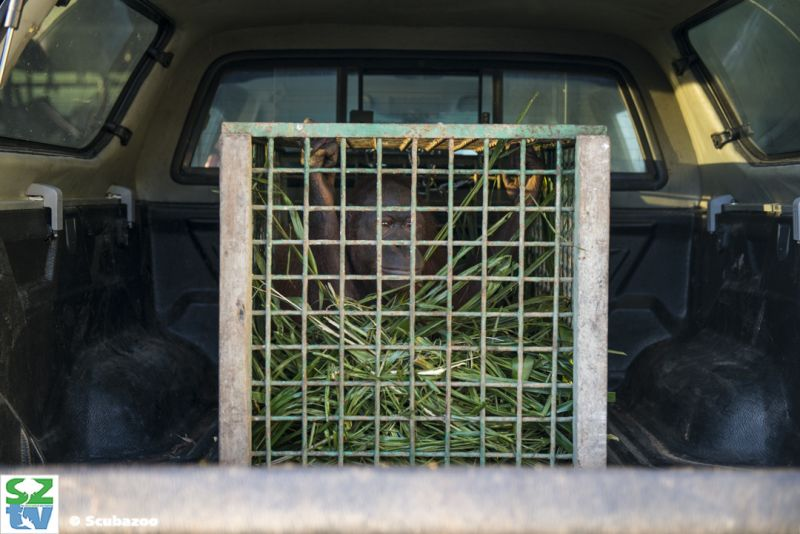 'Sepilok acts as a half way home for all the rescued orangutans, with the hope most of them can be returned back home,' said wildlife veterinarian Laura Benedict.