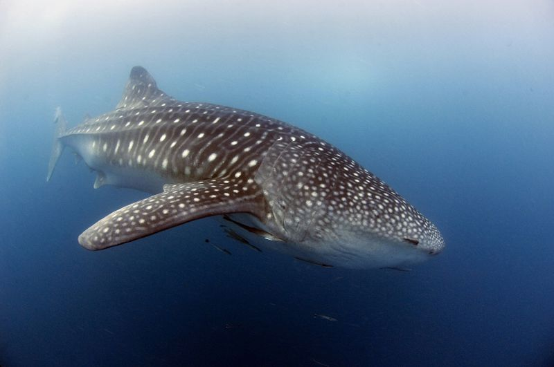 A whale shark, nearly six metres long, swims near the surface of the plankton-rich water of Donsol town. ― AFP pic
