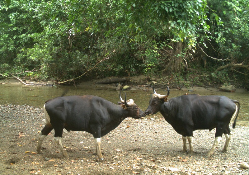 Two bull bantengs are seen along a river in one of the forest reserves in Sabah. — Pictures courtesy of Danau Girang Field Centre
