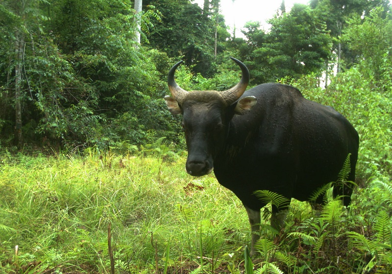 A bull banteng is pictured in a Sabah forest reserve. WWF-Malaysia's survey shows that respondents are concerned about deforestation. — Picture courtesy of Danau Girang Field Centre