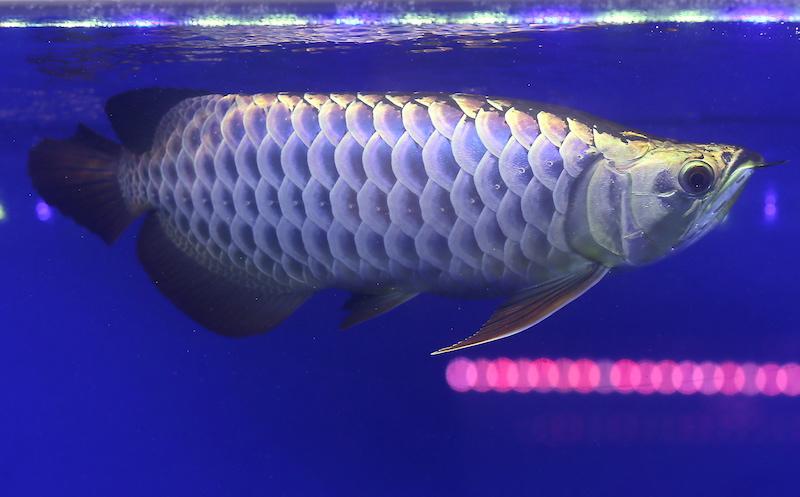 The Arowana fish owned by Taiwanese Arowana fish dealer John Wayne Kee, 43, was selected as the grand champion at the first Bukit Merah International Arowana Exhibition and Competition, held at Taiping Mal, December 9, 2017l. — Pix by Farhan Najib