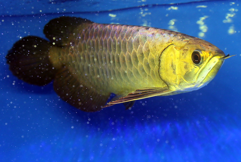 This Arowana fish owned by local fish breeder William Hoe from Johor, was named champion in the Crossback Arowana (Golden Base) small fish category at the first Bukit Merah International Arowana Exhibition and Competition.