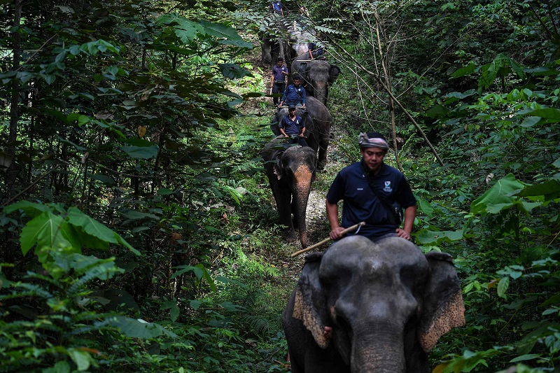 This picture taken on January 16, 2018 shows Malaysian mahouts riding rescued elephants through a forest as part of a patrolling exercise at the Kuala Gandah Elephant Conservation Centre in Kuala Gandah, about 100km outside Kuala Lumpur. ― AFP pic