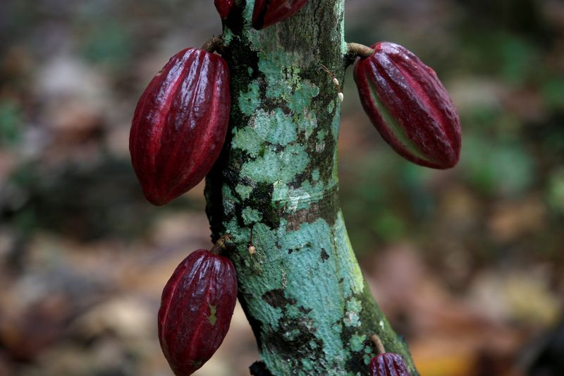Cocoa pods are seen in a cocoa farm in Anyama, Ivory Coast, July 21, 2017. — Reuters file pic