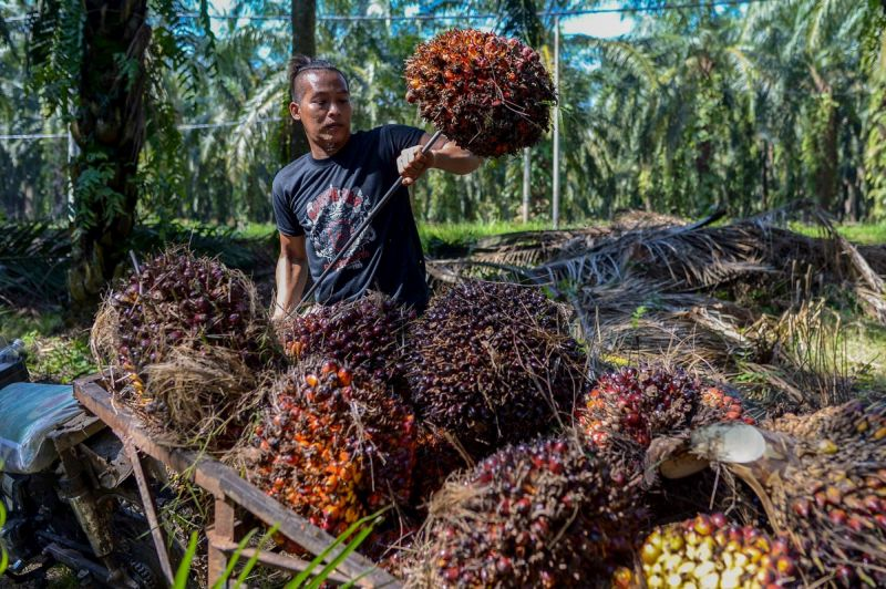 A worker collects palm oil fruit after being harvested at a plantation in Kampung Bukit Hijau, Kuala Selangor March 14, 2018. — Picture by Mukhriz Hazim