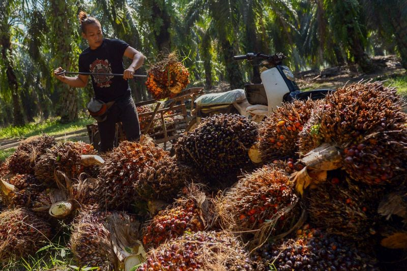 Only 42 per cent out of the total of 5.85 million hectares under palm oil nationwide have been certified with MSPO. — Picture by Mukhriz Hazim
