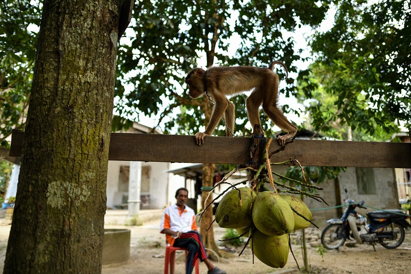This picture taken on February 8, 2018 shows a pig-tailed macaque learning to pick coconuts as trainer Wan Ibrahim Wan Mat looks on, outside his house in the village of Melor in the northern state of Kelantan. — AFP pic