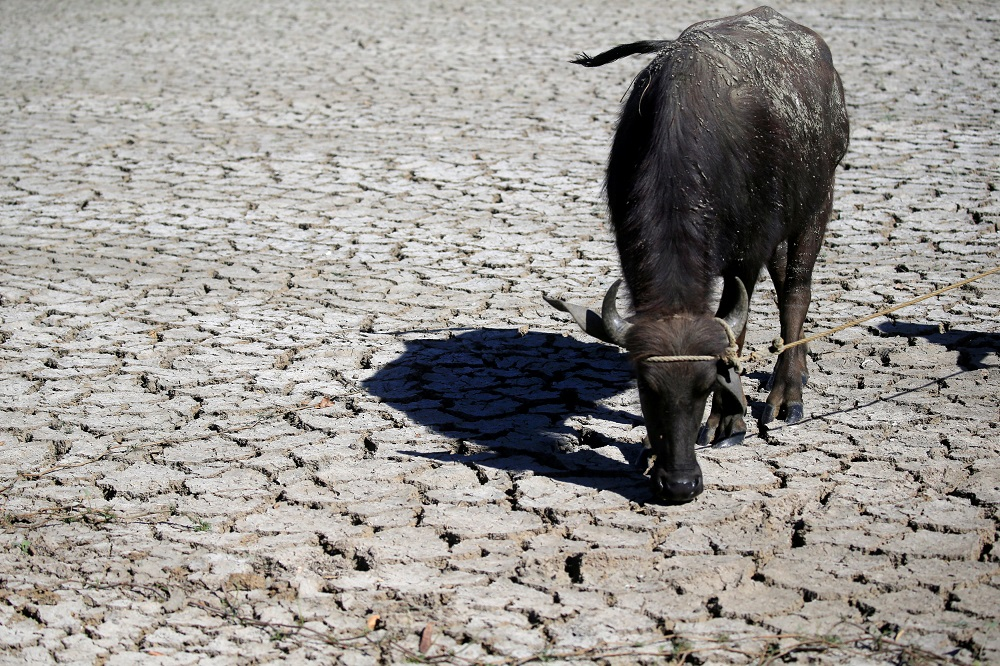 A water buffalo is seen on cracked soil at a dried up rice field in Baliuag town, Bulacan province April 23, 2018. A Native Court in Sabah sentenced a Pakistani man with a fine of eight buffaloes and eight gongs for insulting the Kadazandusun ethnic group. — Reuters pic