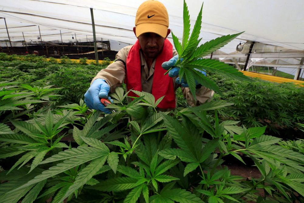 A man gathers marijuana plants for medicinal use at the company Pharmacielo in Rionegro, Colombia. ― Reuters pic