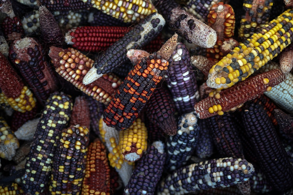 New varieties of corn, grown by associate professor Seth Murray at Texas A&M University to explore the variation of color flavor and taste, are photographed in College Station, Texas, May 23, 2018.