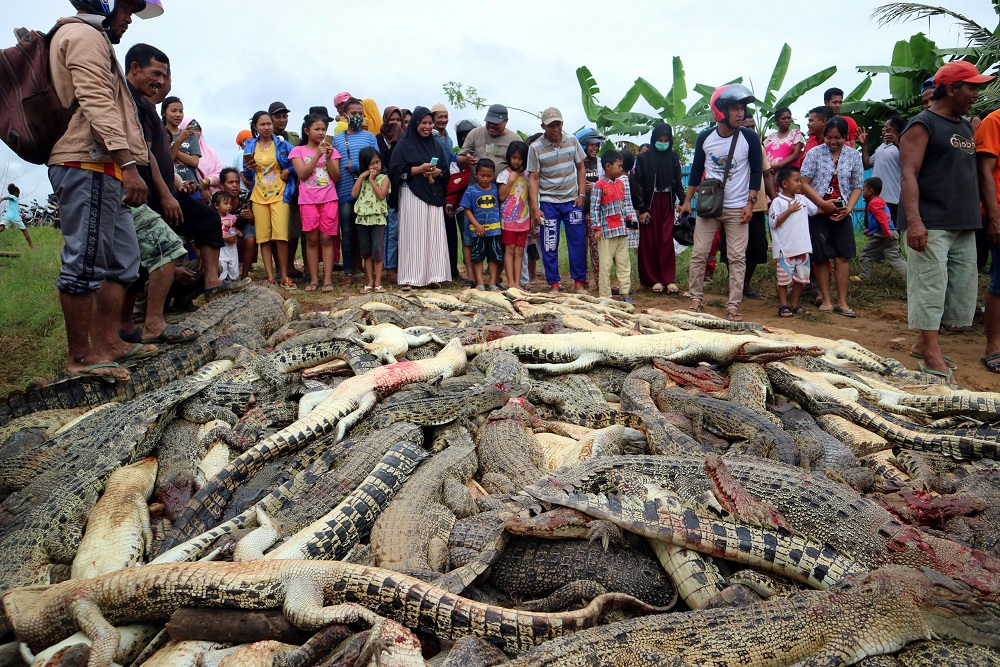 Local residents look at the carcasses of hundreds of crocodiles from a farm after they were killed by angry locals following the death of a man who was killed in a crocodile attack in Sorong regency, West Papua, Indonesia July 14, 2018. — Reuters pic