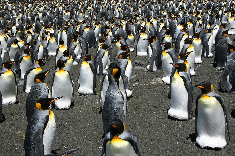 Penguin guano produces significantly high levels of nitrous oxide around their colonies. — AFP pic