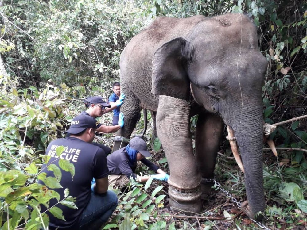 Sapa was found last month with snare trap wounds in Lahad and taken in by the Sabah Wildlife Department. — Picture courtesy of the Sabah Wildlife Department