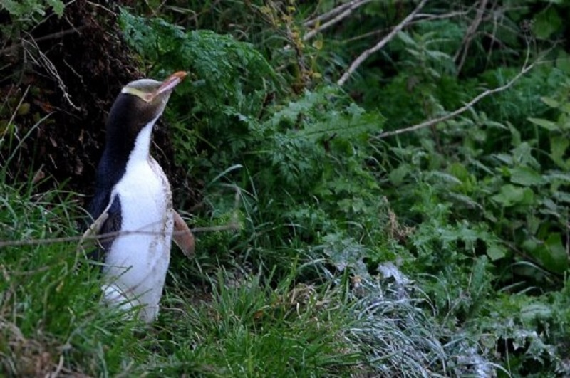 The Fiordland crested penguin in New Zealand. — AFP pic