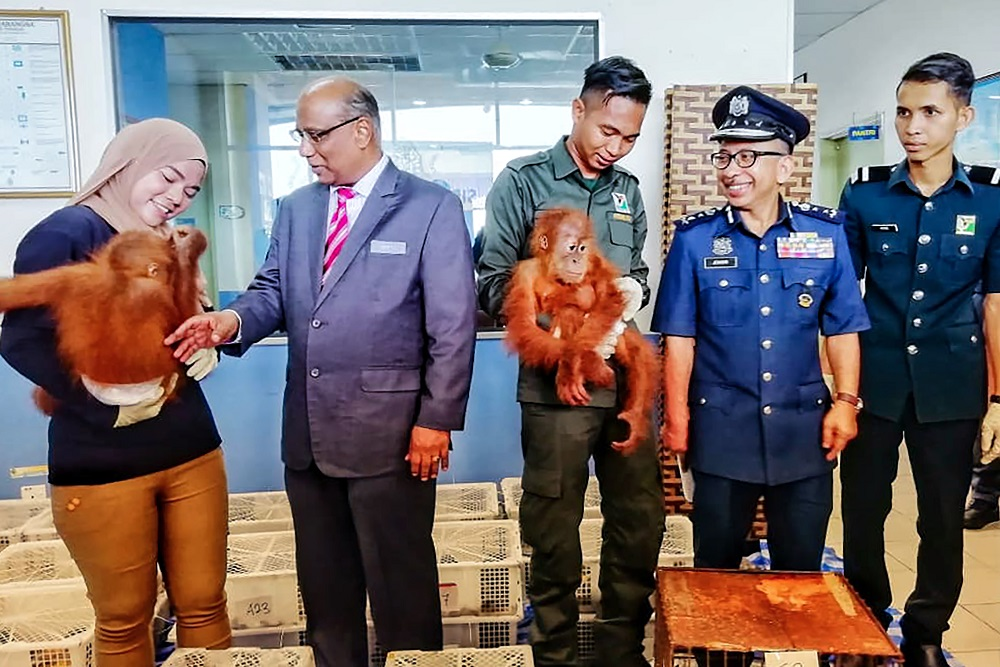Customs Department director-general Datuk Subromaniam Tholasy (second left) looks at a seized baby orangutan during a press conference in Perlis September 24, 2018. — Handout by the Royal Malaysian Customs via AFP