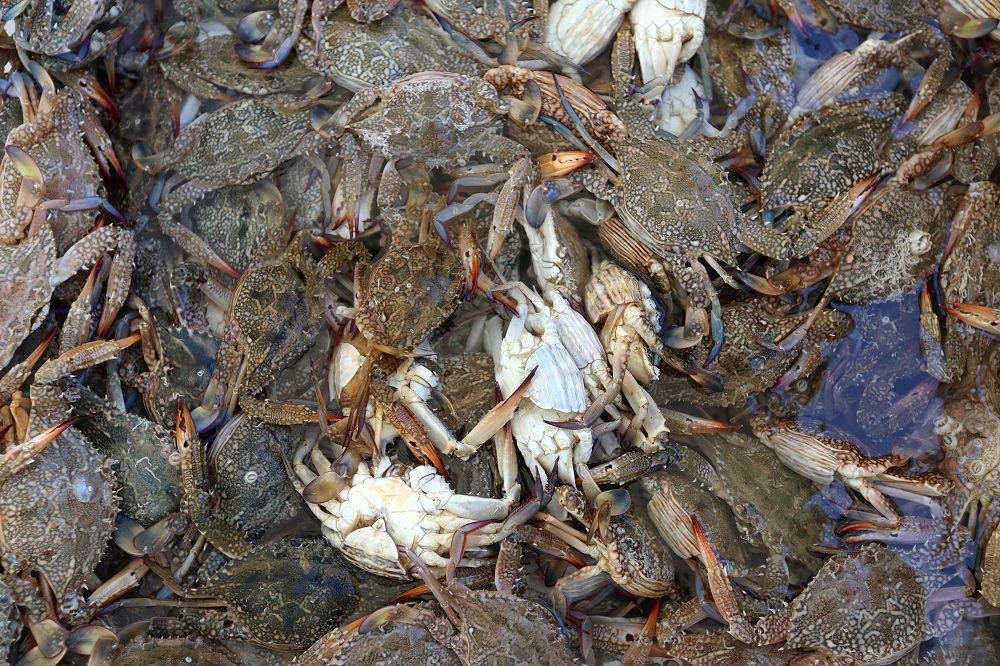 A catch of blue crab is seen on a boat off the Tunisian coastal city of  Zarzis August 30, 2018. — AFP pic