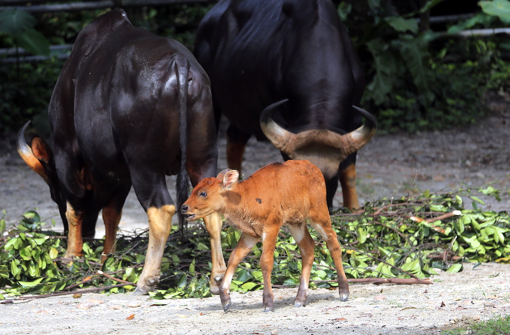 The birth of a very rare species of gaur called the Malayan Gaur was celebrated at the Taiping Zoo and Night Safari. — Pictures by Farhan Najib