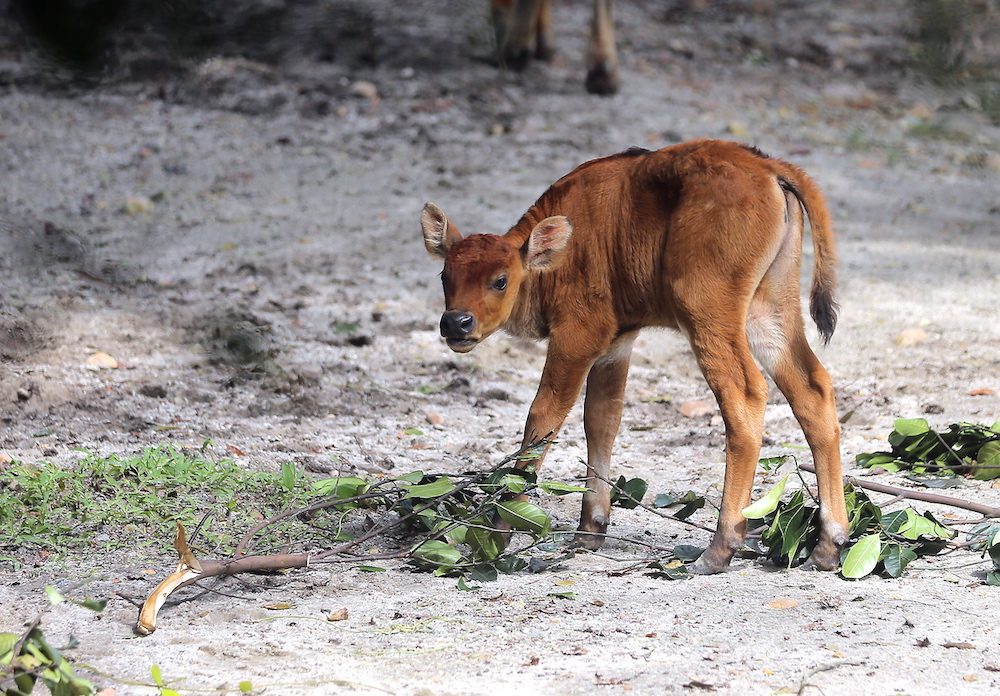 The zoo's director Dr Kevin Lazarus said the gaur is an endangered animal and feared to be extinct following the loss of habitat and poaching.