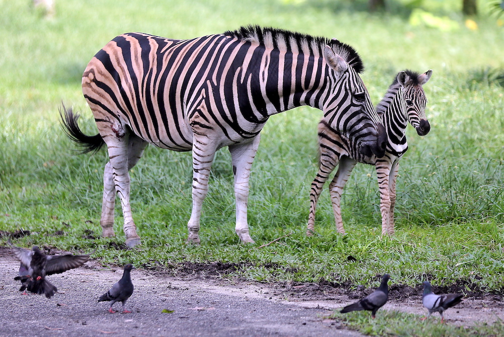 The Taiping Zoo and Night Safari celebrates the arrival of a female zebra foal born on November 11 in the zoo.