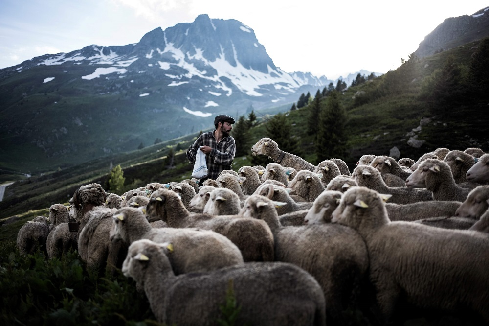 French shepherd Gaetan Meme, 24-years-old, lays salt along a route to guide sheep towards a precise area for grazing, on June 14, 2018, along the Alpine pastures in the mountains near the Col du Glandon, in the French Alps. — AFP pic