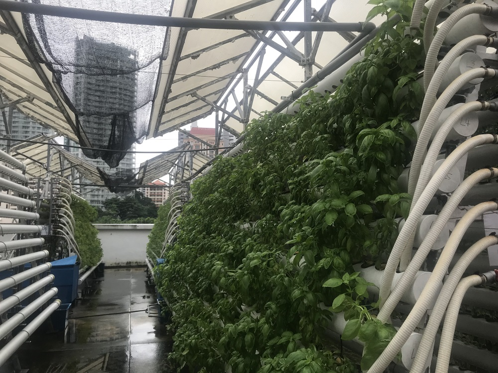 A small farm on top of a mall on Singapore's Orchard Road grows herbs and leafy greens in a high-tech urban farming model that could improve the city's food security November 13, 2018. — Thomson Reuters Foundation pic