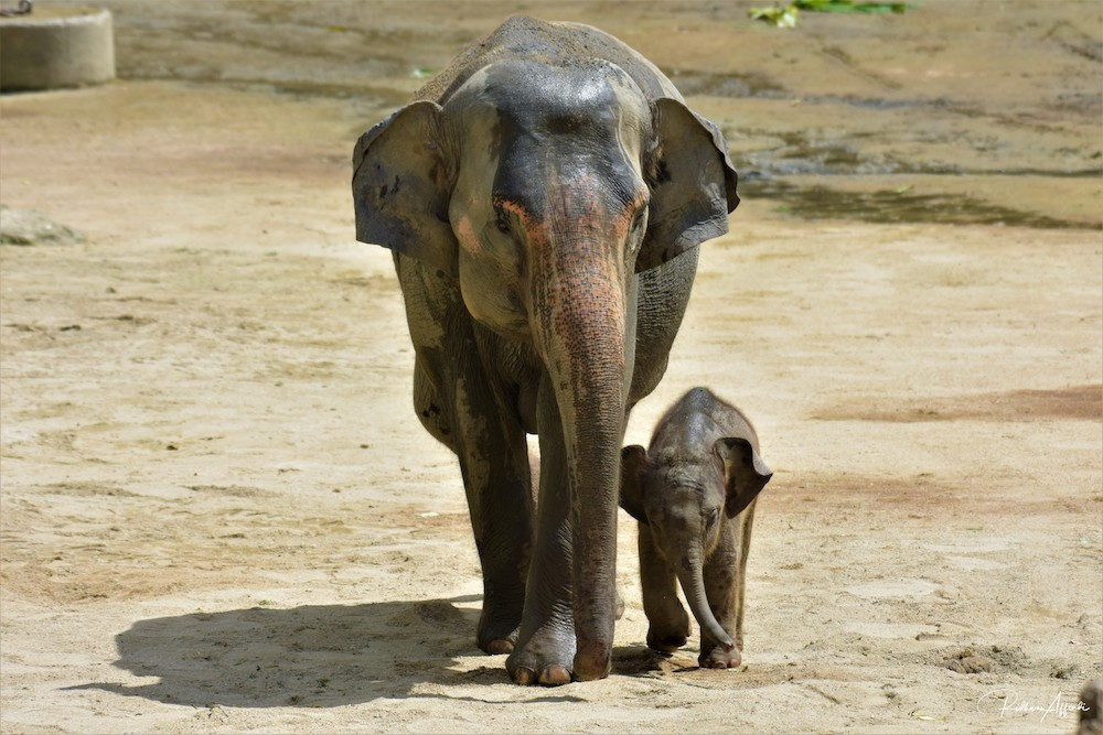 Taiping with her newborn calf. The baby was born on December 30 and now weighs between 80kg and 90kg. — Picture courtesy of Taiping Zoo