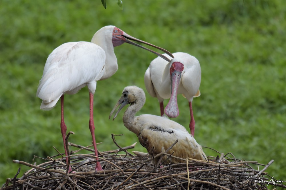The baby African spoonbill bird with its parents. It was also born on December 30. With its birth, the zoo now has three African spoonbill birds. — Picture courtesy of Taiping Zoo