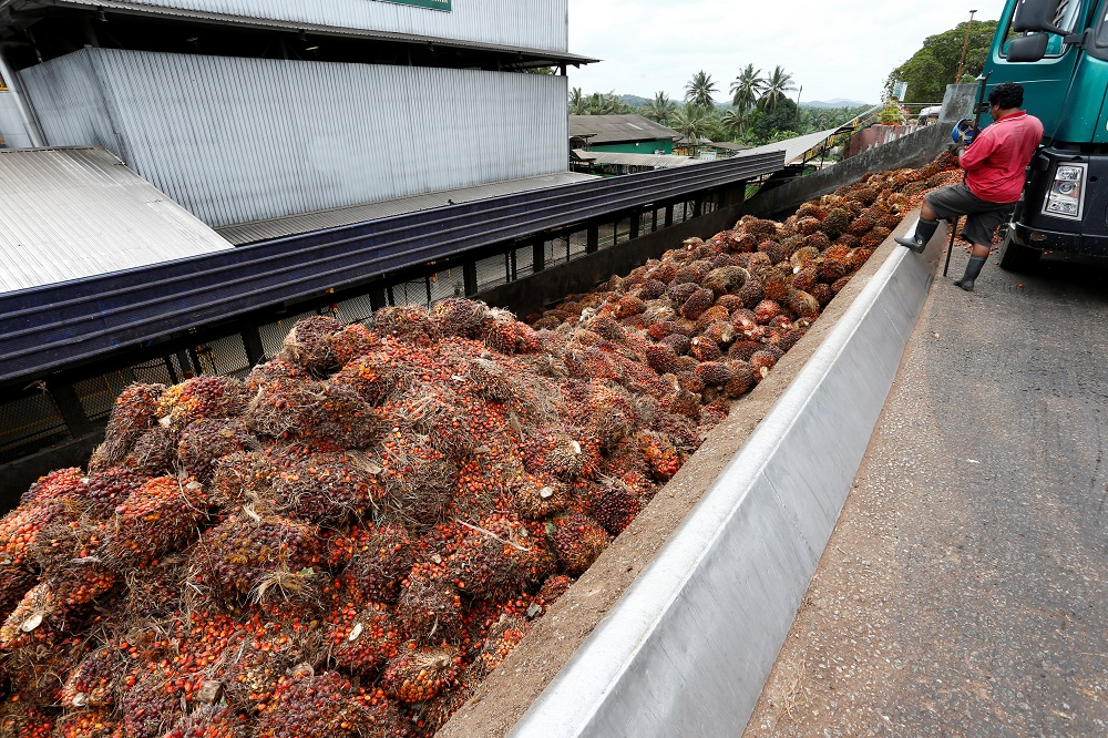A worker unloads palm oil fruit bunches from a lorry inside a palm oil mill in Bahau January 30, 2019. — Reuters pic