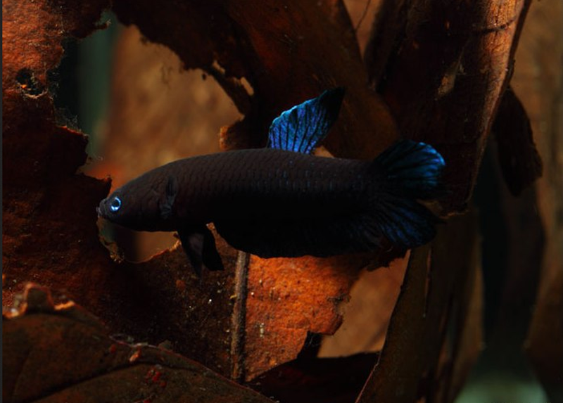 The Betta Persephone fish species, or commonly known as ikan laga, is currently listed as critically endangered. — Picture via SeriouslyFish.com