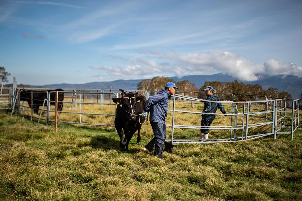 This picture taken on October 13, 2018, shows handlers with cattle at a ranch raising livestock for wagyu beef in Takayama. — AFP pic