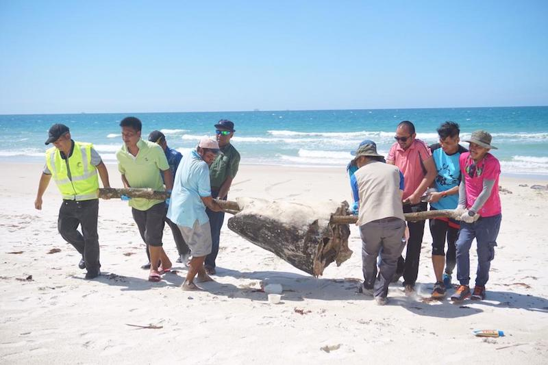 Sabah Fisheries Department staff retrieve the 150kg whale shark head for research purposes. — Picture courtesy of Sabah Wildlife Department