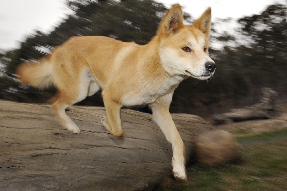 A dingo runs at the Dingo Discovery and Research Centre at the Toolern Vale in rural Victoria, some 60 km north-west of Melbourne May 25, 2009. — AFP pic