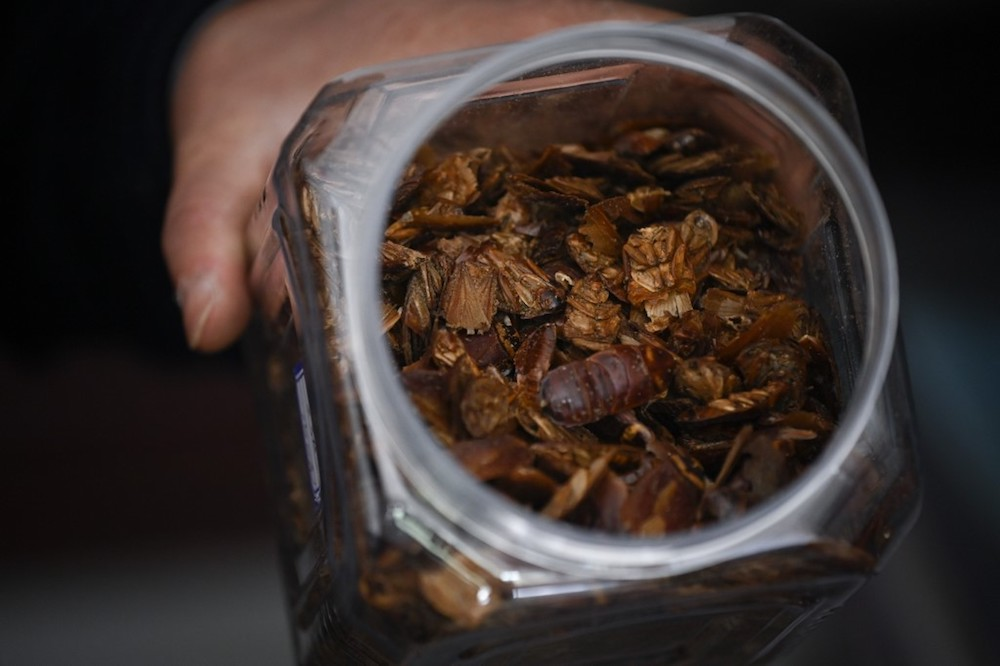 Cockroach farmer Li Bingcai shows dehydrated whole roaches, used as medication, at his farm in Yibin, China's southwestern Sichuan province March 25, 2019. — AFP pic