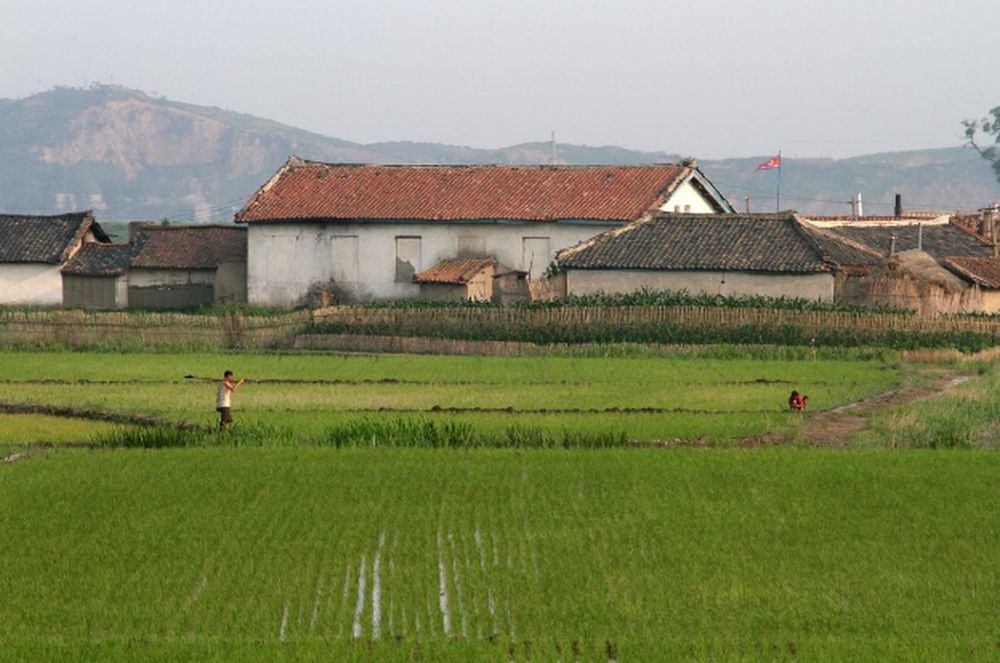 A North Korean farm is seen in the rice paddy fields on Hwanggumpyong Island, located in the middle of the Yalu River, near the North Korean town of Sinuiju, opposite the Chinese border city of Dandong, June 19, 2015. — Reuters pic