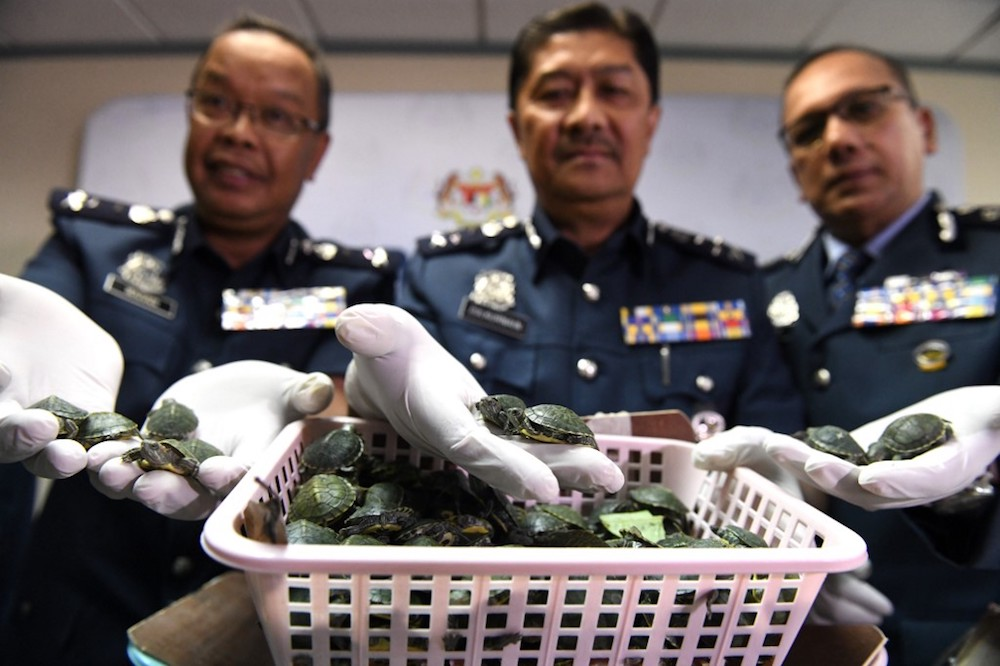 Royal Malaysian Customs officials display seized red-eared slider tortoises during a press conference in Sepang June 26, 2019 after a foiled smuggling attempt by a syndicate. — AFP pic